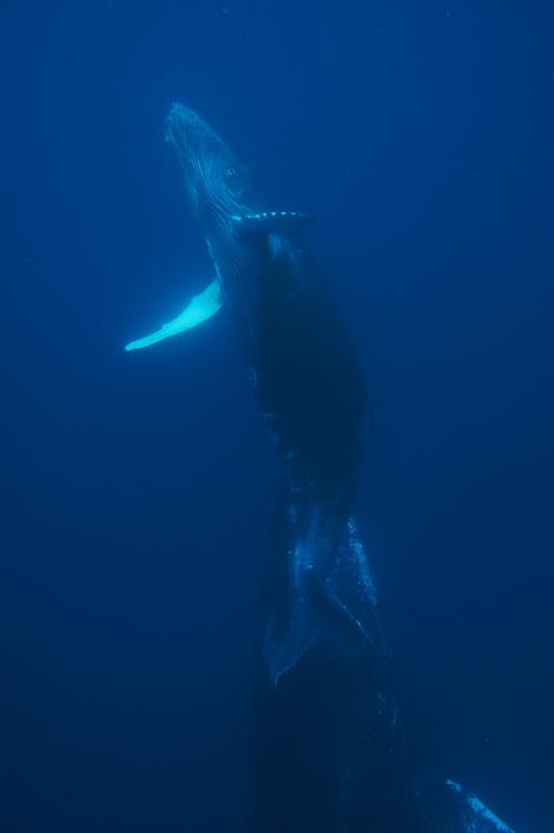 jheller_humpback_calf