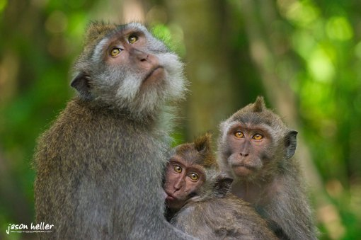 Macaque Monkeys Bali