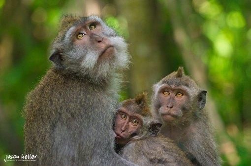 Macaque Monkeys Bali