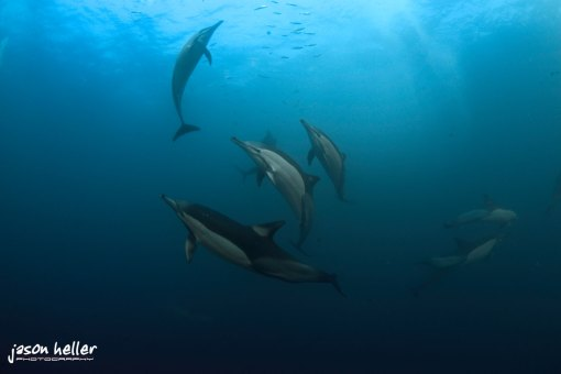 Sardine Run Dolphins