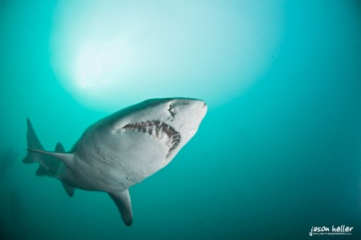 Sardine Run Shark