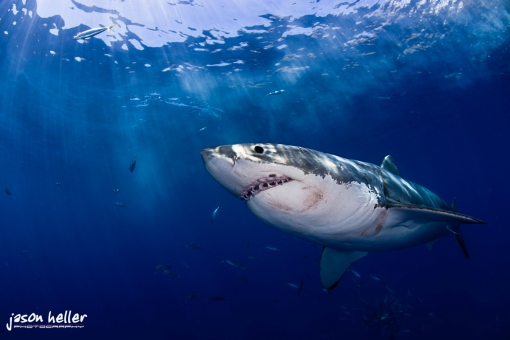 great white shark underwater photography