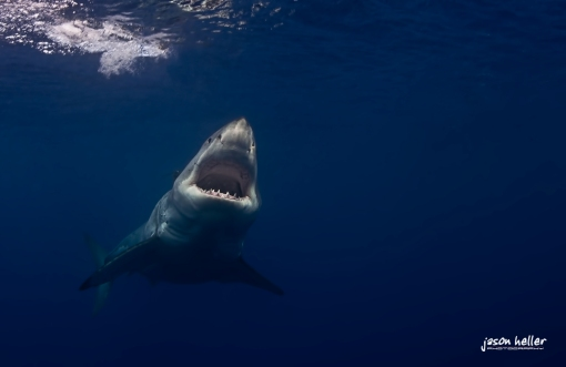 underwater great white shark