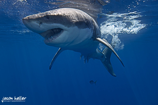 underwater photograph great white shark