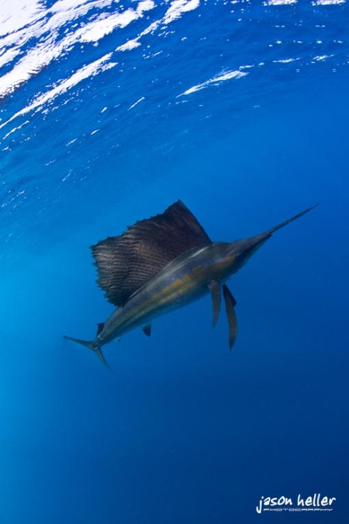 Colorful sailfish