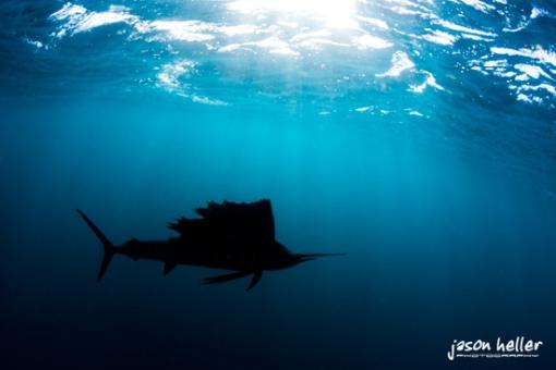 Sailfish silhouette