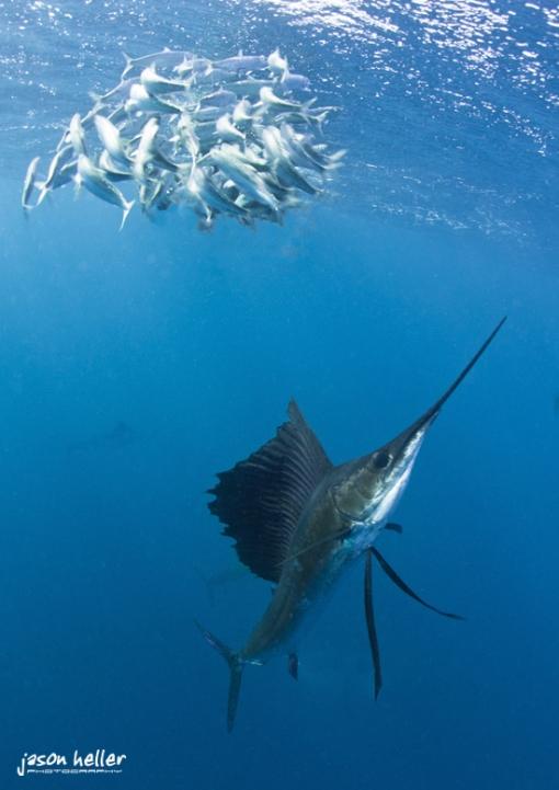 Sailfish and baitball